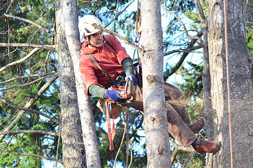 tree-service-colleyville-adult-trimming