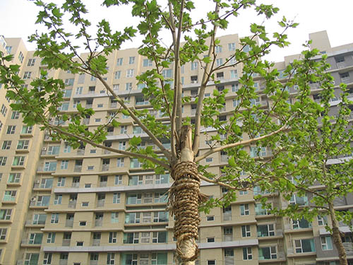 tree-service-colleyville-rope